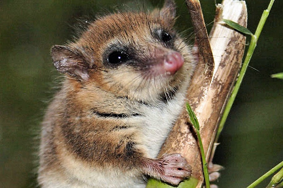 La importancia del monito del monte para la fauna silvestre nacional