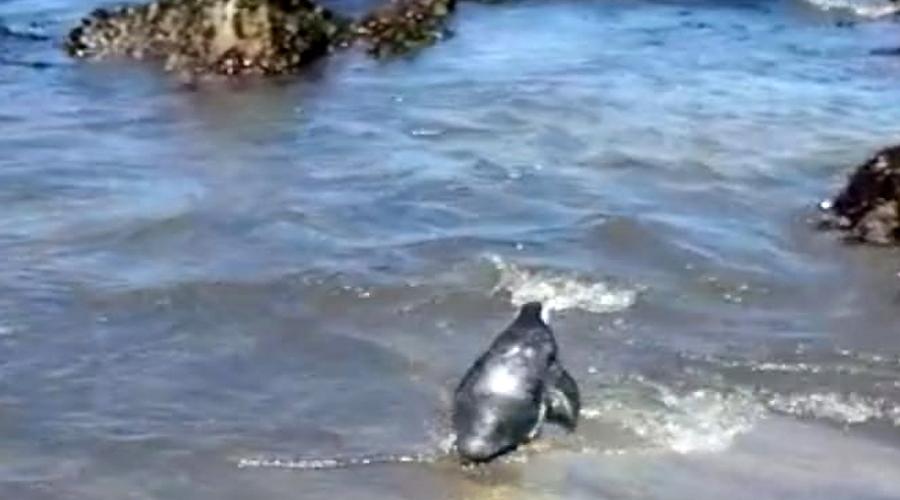 Pingüino magallánico recuperado en USS fue liberado en su medio marino