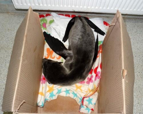 Con poco más de 5 kilos egresó del HCV el cachorro de lobo marino.