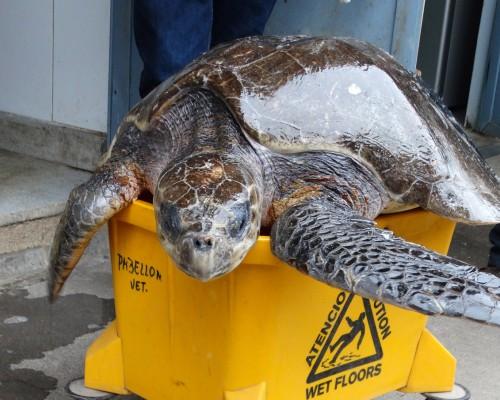 La tortuga se mantuvo en 30 kilos de peso.