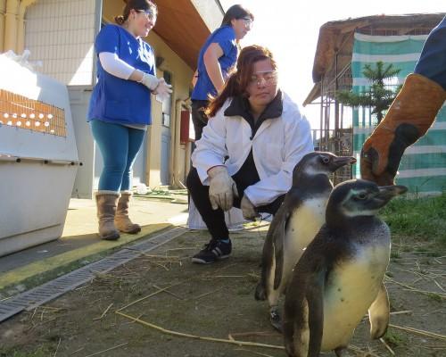 Los tres pingüinos recuperados y liberados son del tipo magallánico.