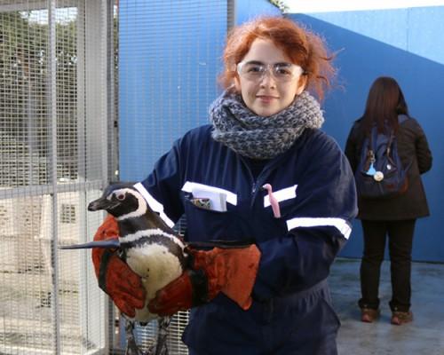 Cerefas de la USS Concepción recuperó a dos pingüinos que fueron liberados en Talcahuano.