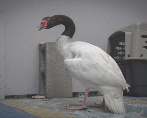 Liberan a cisne de cuello negro rehabilitado en CEREFAS Concepción