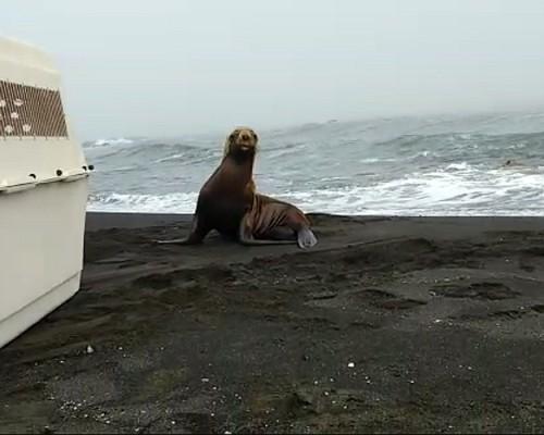 Medicina Veterinaria de la USS Concepción recuperó a lobo marino que luego fue liberado por Sernapesca.
