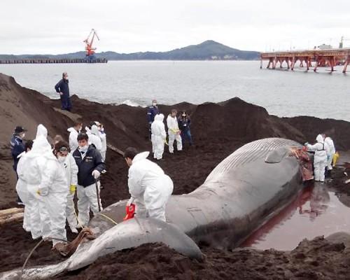 Ballena Fin fallecida es sometida a necropsia con participación de USS.
