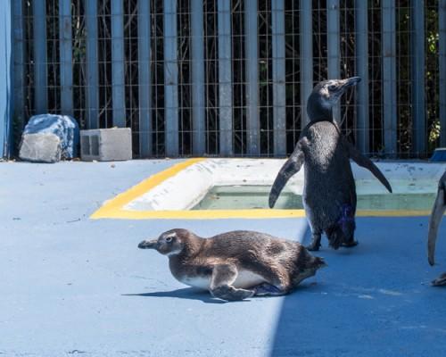 Pingüino magallánico es rehabilitado exitosamente en USS Concepción