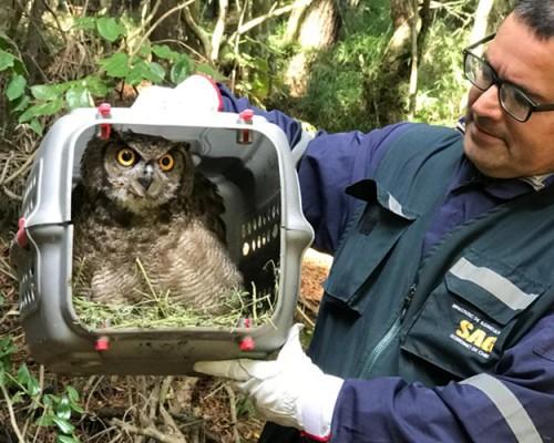 Los animales silvestres fueron rescatados por el SAG, rehabilitados en la USS y liberados en su hábitat.