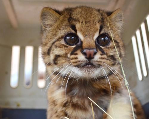 gato-guina