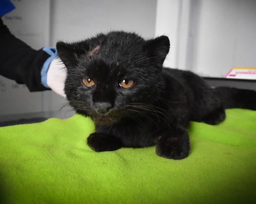 Actualmente, la güiña se recupera de sus graves lesiones en el Centro de Rehabilitación de Fauna Silvestre en la Sede De la Patagonia.