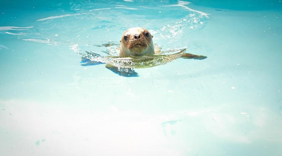 lobo marino nadando