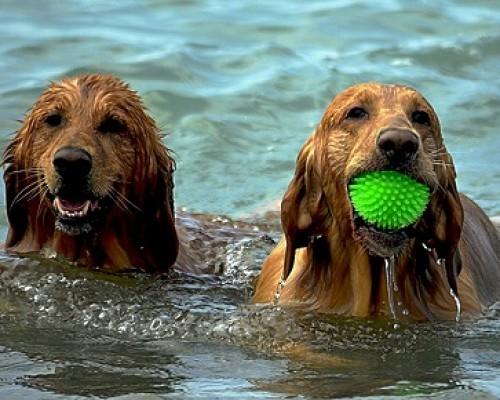 perros-agua